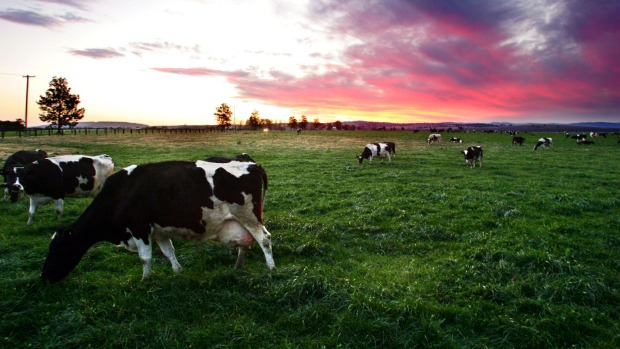 Gippsland dairy farmers share strategies to cope with summer 'feed gap'